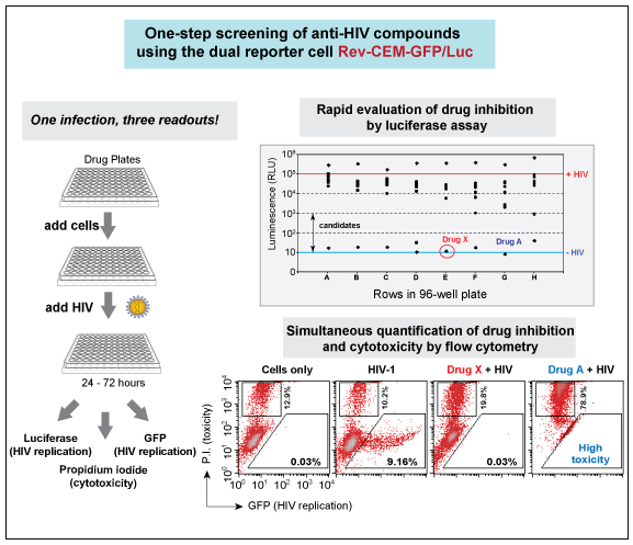 Dual-reporter Virovision HIV reporter cells allow more efficient anti-HIV drug screening.